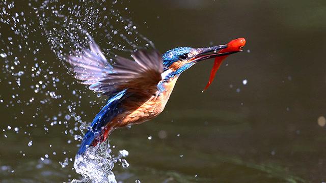 慢镜头看翠鸟捕鱼画面太美了,这是一个看颜的世界