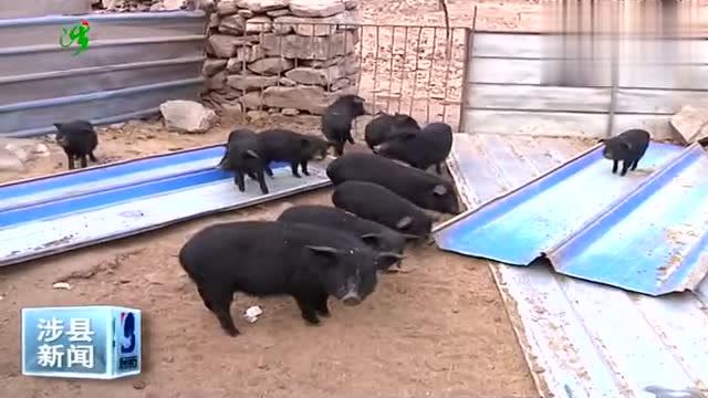 """喝泉水、吃山珍的藏香猪""""拱""""开涉县群众的致富门!"""