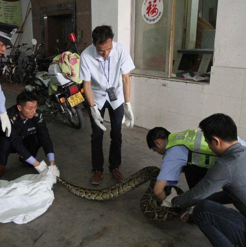 吓人!天花板突然掉下近40斤巨蟒!躲了10年才被发现…