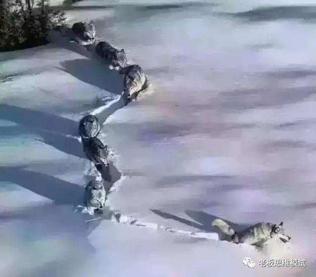 头狼不容易,请尊重您的老大!!!(值得深读)