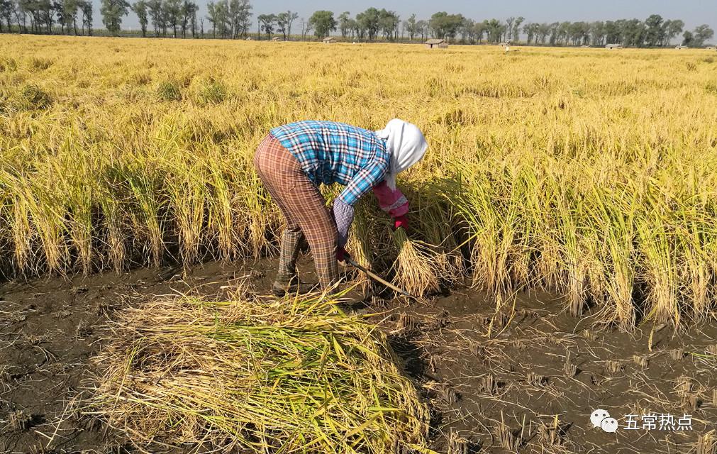【五常】稻花香秋收从一束稻到一粒米五常大米是这样的