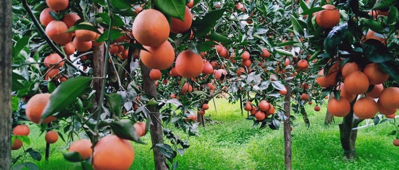 号外!南溪江南镇万亩血橙熟了,采摘节时间已定.....(多图)!