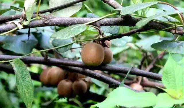 沅陵山上的野生猕猴桃、板栗、八月瓜快熟了,你摘过吗?!