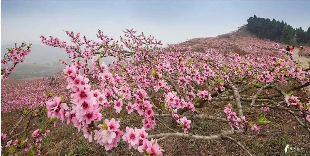 粉色浪漫,惊艳全城,仁寿的桃花,开好了!