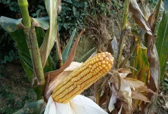 那些发生在上蔡玉米地的那些事!