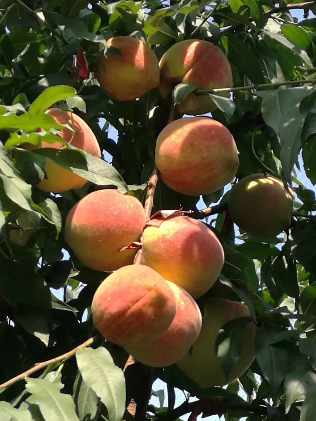 最新!驻马店秋季采摘地图来了!秋桃、无花果、猕猴桃…你喜欢吃的都在这儿