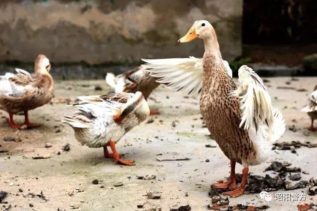 """永丰派出所破获一起抢劫案---三个老汉不仅""""煮熟""""的鸭子飞了,还反被拘留!"""