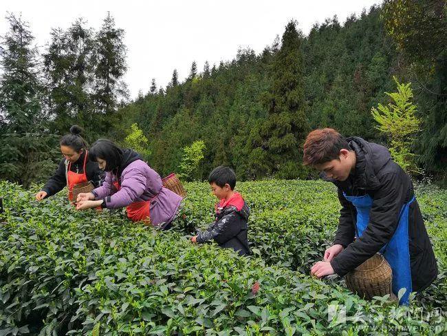 赴春天之约邂逅歇马联合村采茶之旅