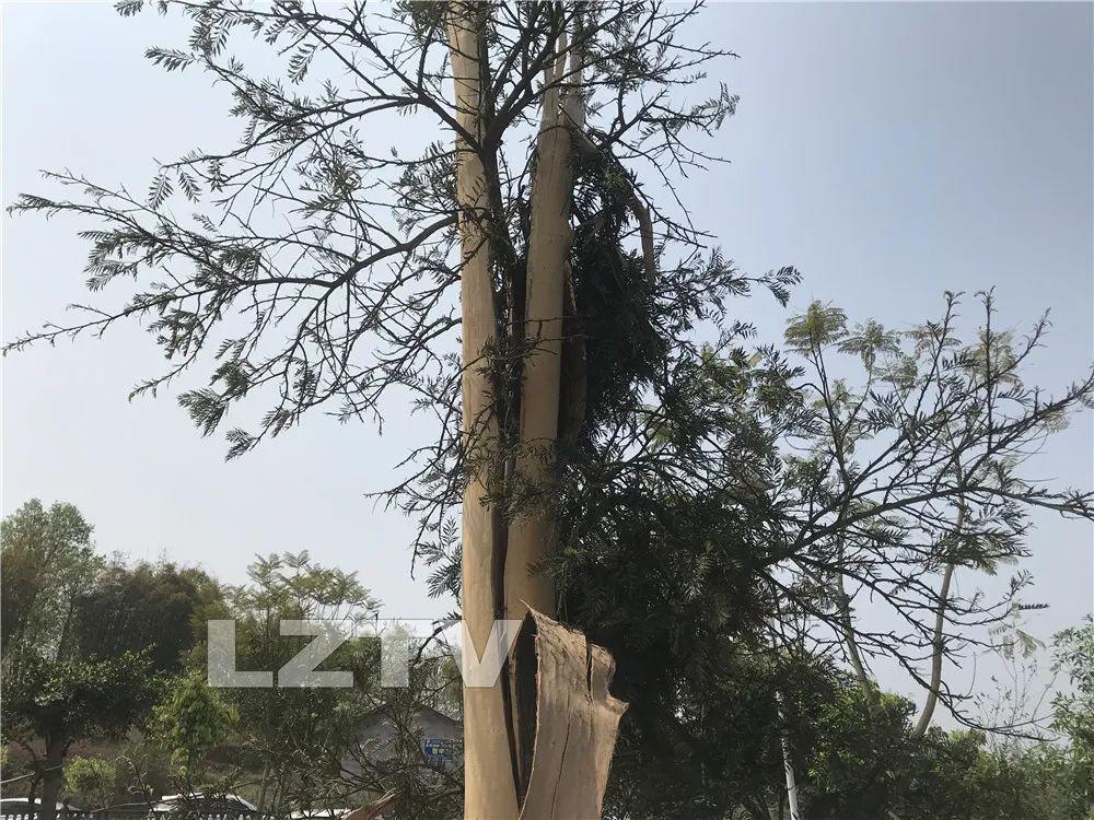 昨晚惊雷,把泸州一棵大树劈得四分五裂