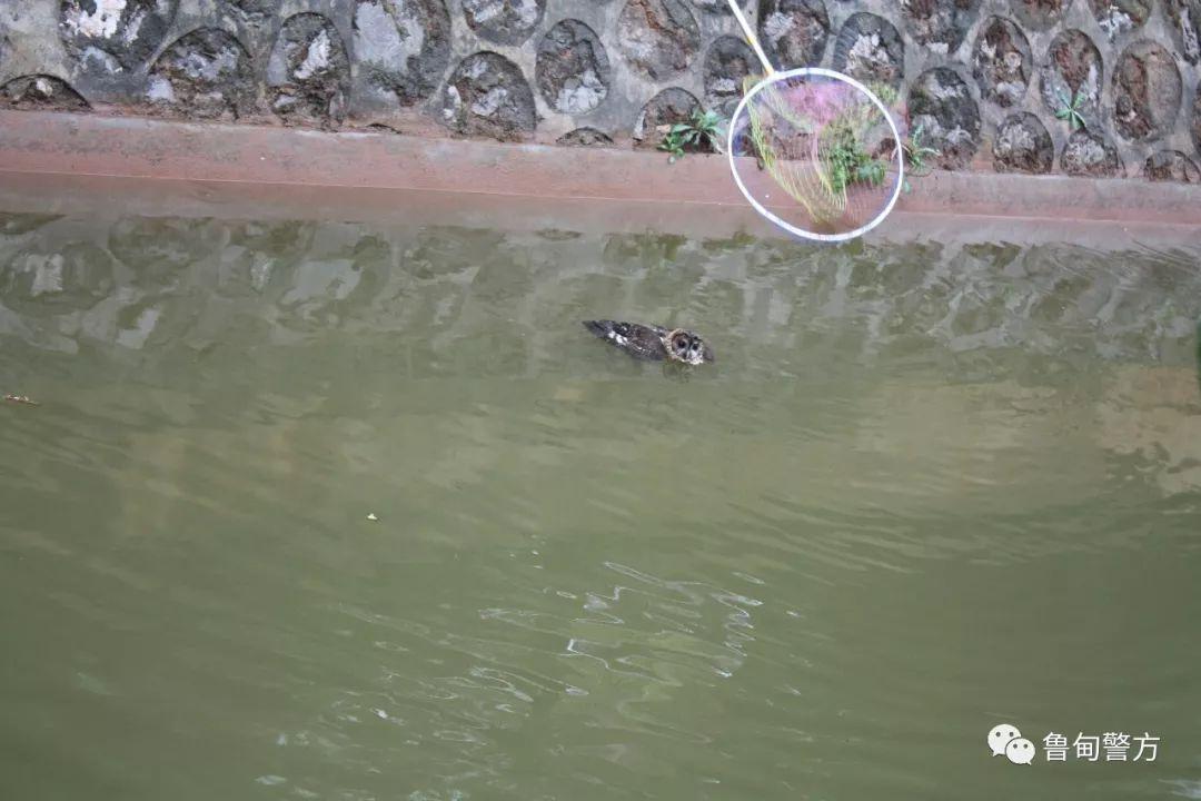 """猫头鹰在河中""""游泳"""""""