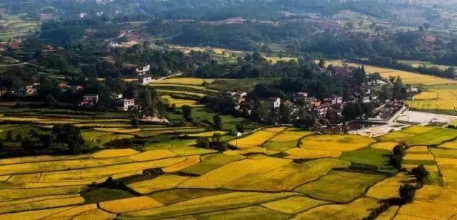 大悟的金秋,美到窒息的稻田景观