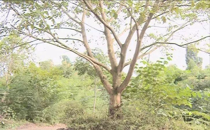 乐山一株黄葛树犹如穿上纱衣,专家表示没有见过此现象。请大家帮忙看看