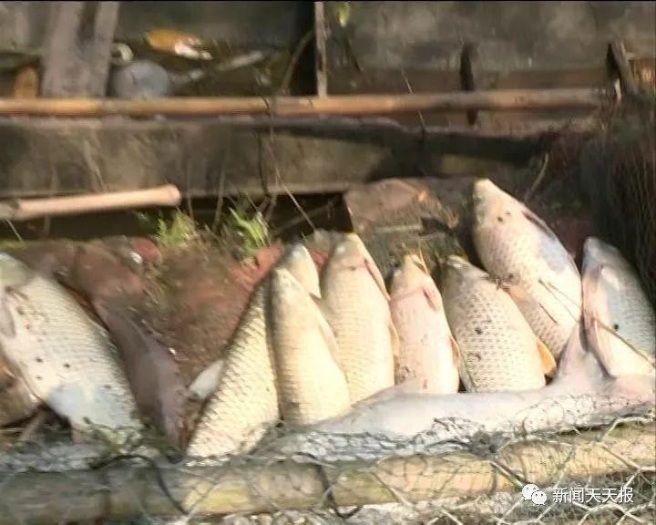 城区一养殖户上万斤鱼离奇死亡?#20260;?#34987;?#36865;抖荆?#35686;方介入调查!