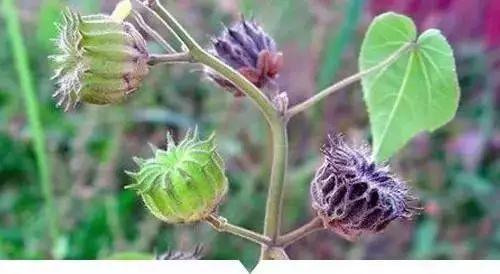 【荐读】小时候常见又叫不上名的植物,终于知道叫啥了,太全了!