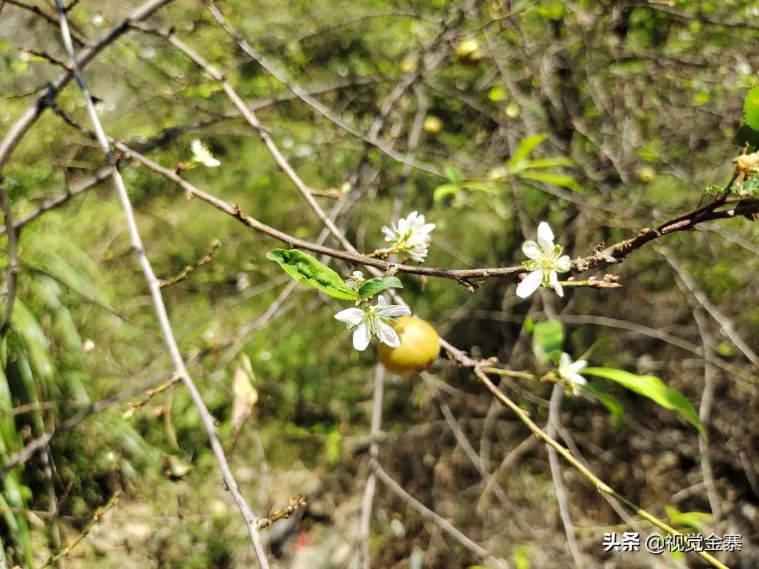 稀奇!金寨发现李树秋天同时开花结果
