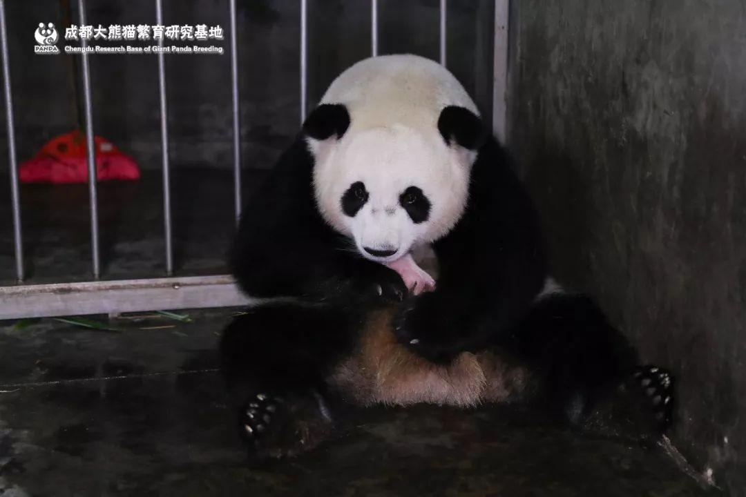 功夫熊猫生下龙凤胎!顺便创造了一个世界纪录……