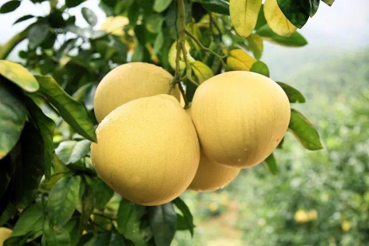 秋冬爱吃柚子的新郑人注意了,这些知识现在知道还不晚――新郑在线