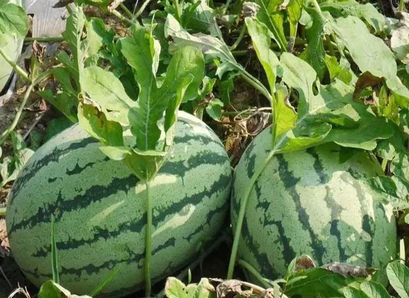 夏天吃西瓜还有这些好处,好多荆门人都不知道!