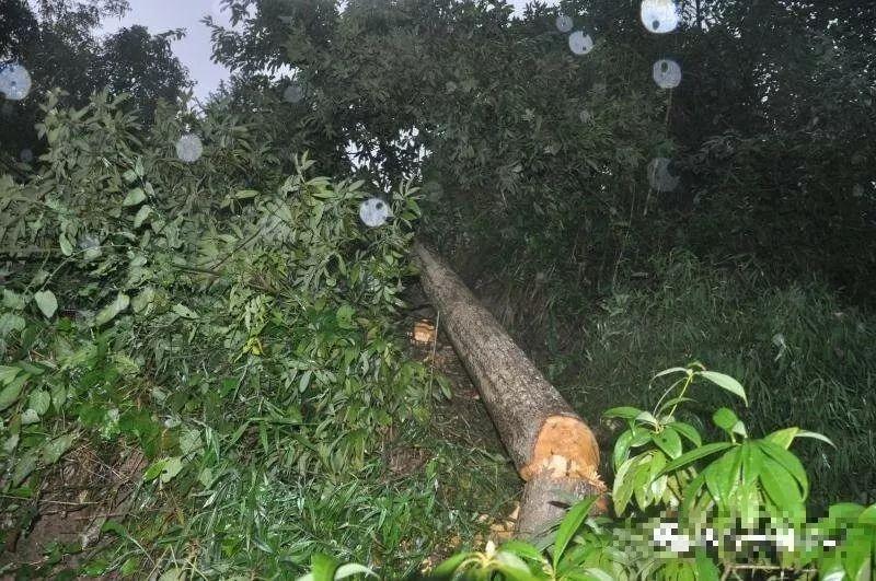 泸州男子砍自家栽的桢楠树获刑1年6个月