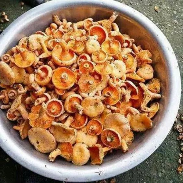 新宁山上菌子一片片,都是一桶桶摘,约起!