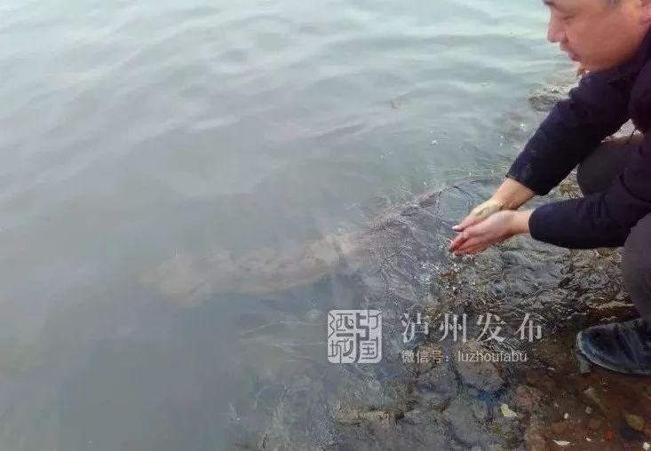 放生两次又游回来了丨泸州发现一只野生娃娃鱼,比你手臂还长
