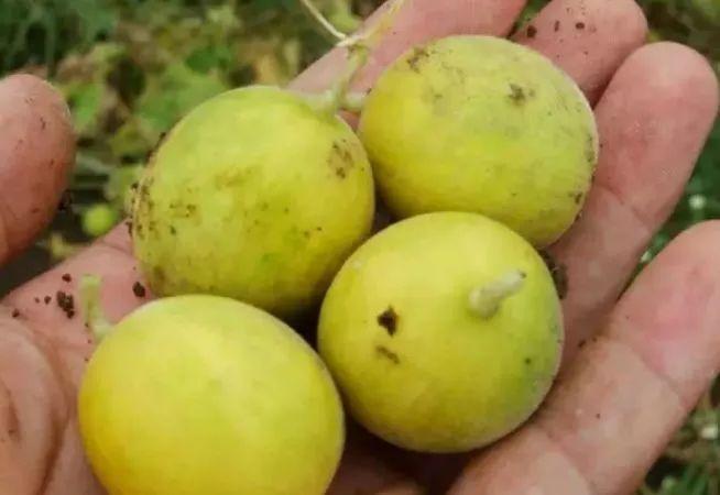 上蔡人讨厌的这个野果子,有人专门来捡赚钱,榨油吃了能防癌......