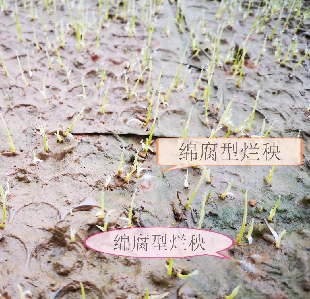 超实用!预防水稻烂秧,可以这样做