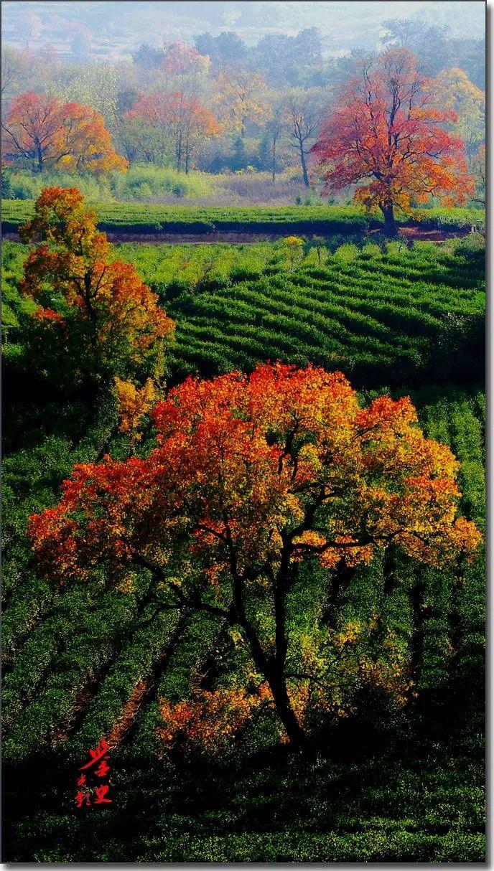 【原创美图】当茶园撞上霜降后,一场秋色中的艳丽邂逅悄然走来……