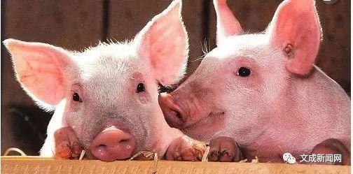 文成市面上的猪肉安全吗?挑猪肉记得看这里!