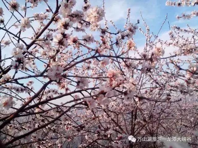 赏桃花不用去林芝,游荆紫仙山,结桃花缘~