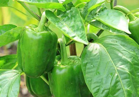 80%的新县人都不喜欢吃它们,却不知越吃越健康!