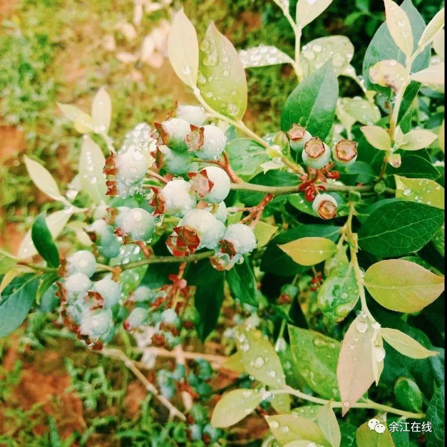 �{莓免�M吃5年,春���{莓�@要火了,余江�^的�{粉���s�o�竺�吧!