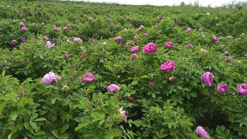 花香十里,我在这里等您!玫瑰花茶、亲子采摘、免费品尝,尽情玩嗨~亲子,情侣,郑州的后花园!