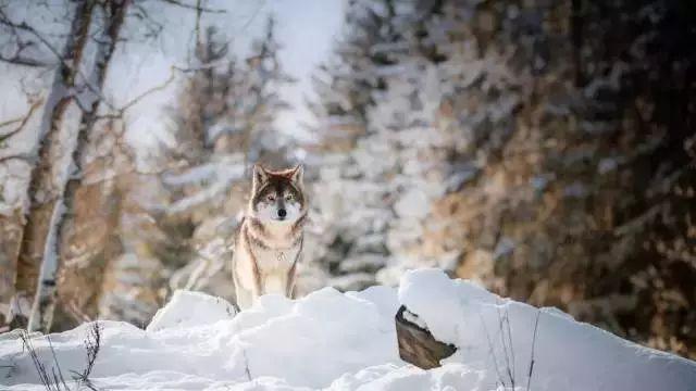 一只母狼的启示,让很多父母恍然大悟!