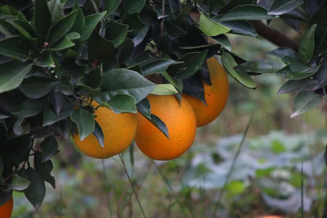 枝江市顾家店明蓉苗木基地:大量供应纽荷尔脐橙树苗