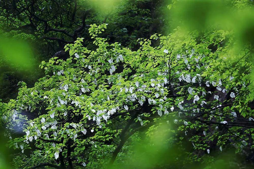 """乐虎这种植物堪称""""植物界大熊猫"""",为中国特有..."""
