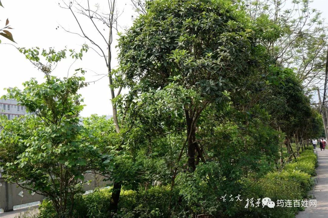很多人不知道,筠连定水河边的这种树竟然会结果,果实还能吃!