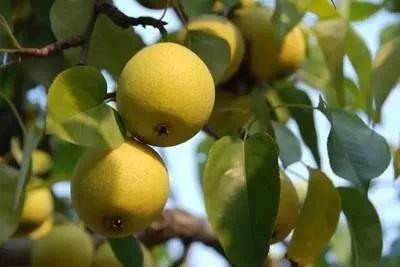 仁寿这个颜值与实力并存的水果享誉全国!