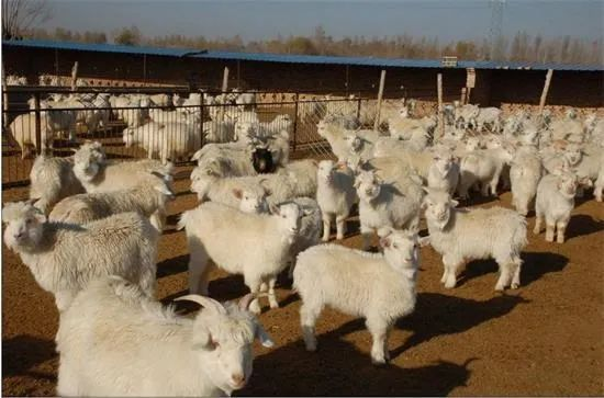 羊肉价涨,陕北羊需求旺