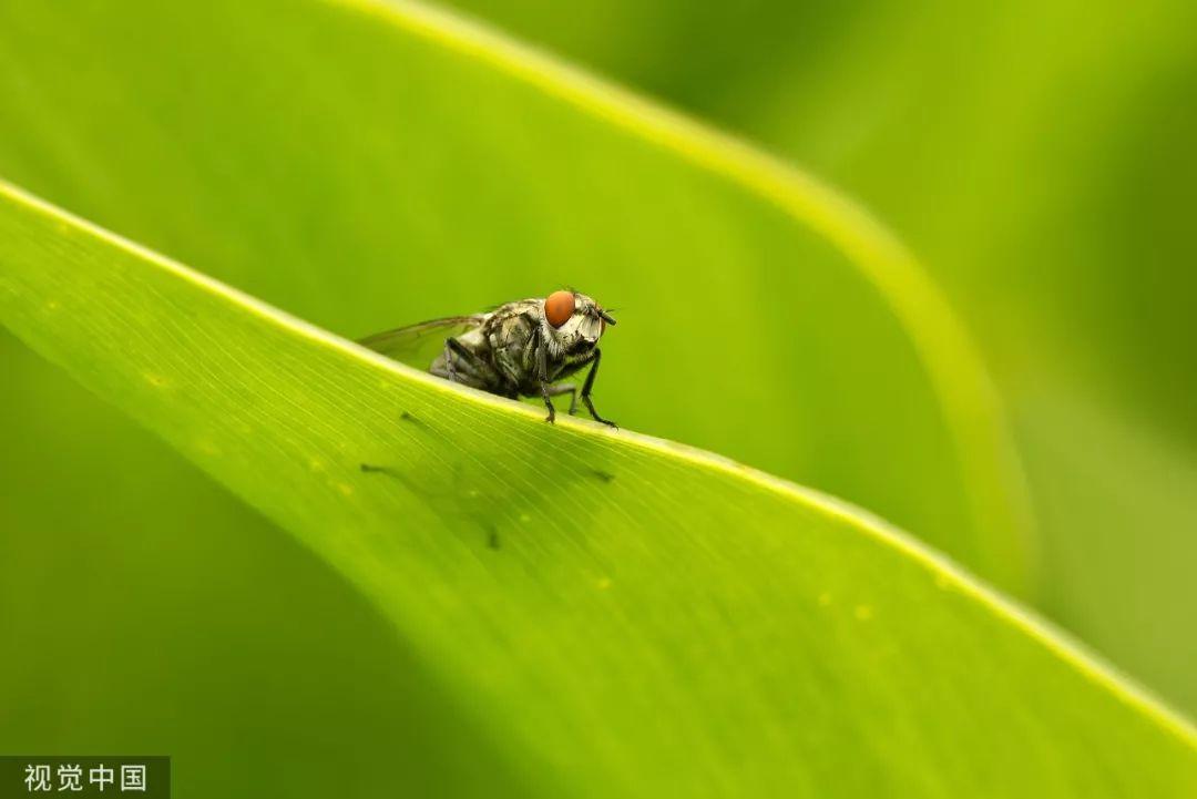 慎点!苍蝇落在食物上都做了啥?为啥先搓脚?