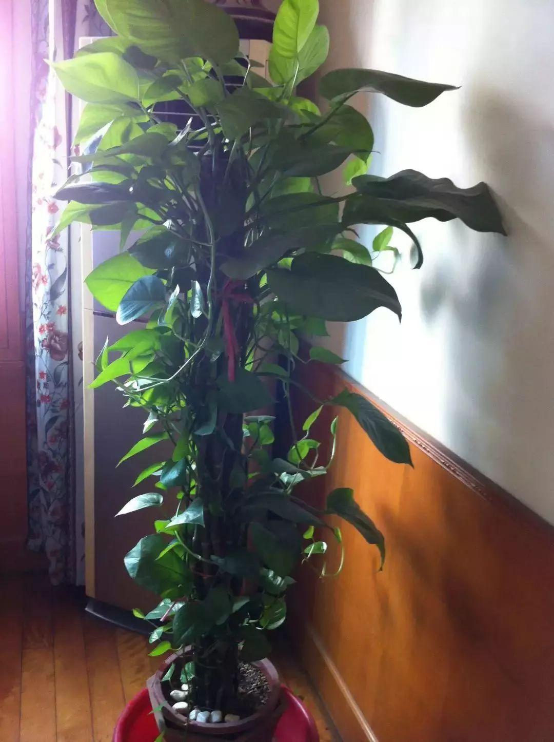 厉害了!一盆小小的绿植,这样做,竟然叶子可以长成A4纸大…