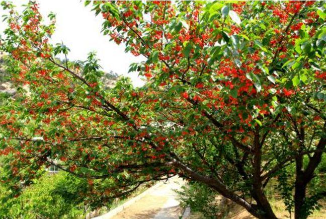 红了红了!仁寿1200亩樱桃成熟,20分钟打来回,明天就开幕!