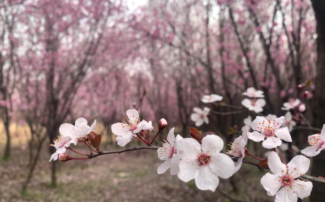 美美美!光山植物园十里桃花连绵成海,是时候来一趟了!