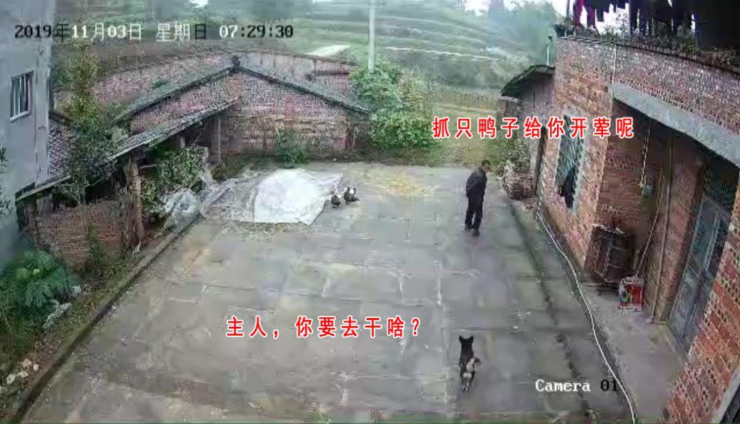 男子偷了邻居一只鸭子,被警方拘留7天