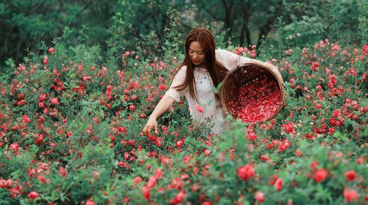 浪漫惨了!仁寿800亩玫瑰花海齐绽放,已开满整个山头!