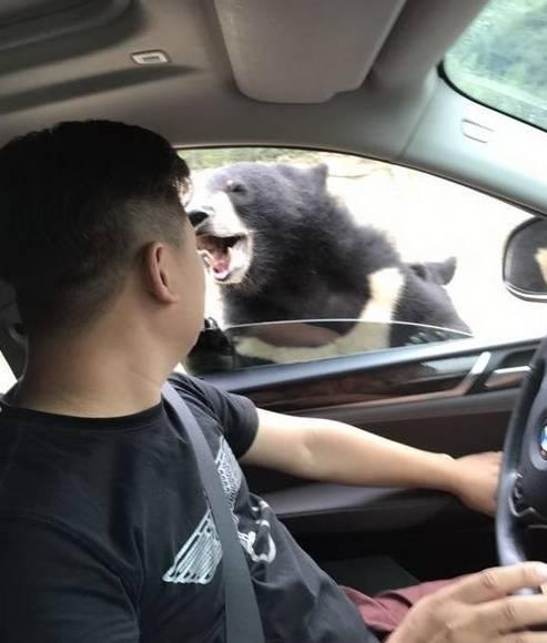 又出事!游客在八达岭野生动物园猛兽区开窗投食,被黑熊咬伤手臂
