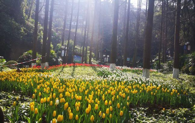 太美了,泸州忠山公园一大片的荷兰郁金香等你来赏