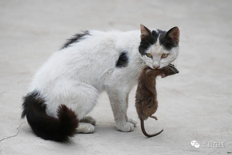 山西盂�h:一只�咪逮住老鼠后怡然自得