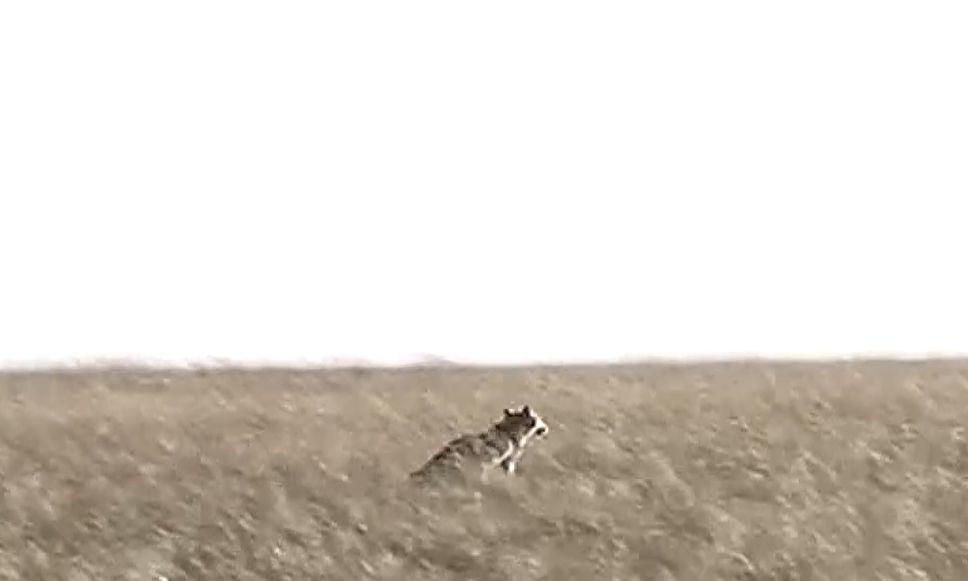 【城事】狼来了!澳门金沙城中心一农户家中发现绝迹20多年的野生狼