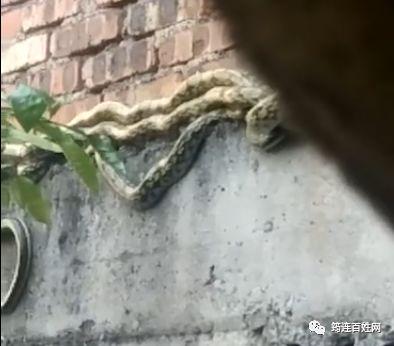 吓人,筠连县沐爱镇一住宅楼外墙惊现几条大蛇!